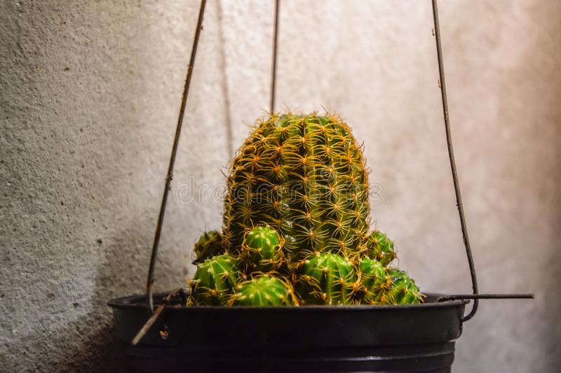 Close up of cactus hanging in a small black pot beside the cement wall, Cactus cultivation, Cactus growth royalty free stock photos