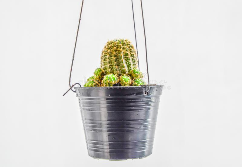 Close up of cactus hanging in a small black pot on white background, Cactus hanging for home decor royalty free stock image