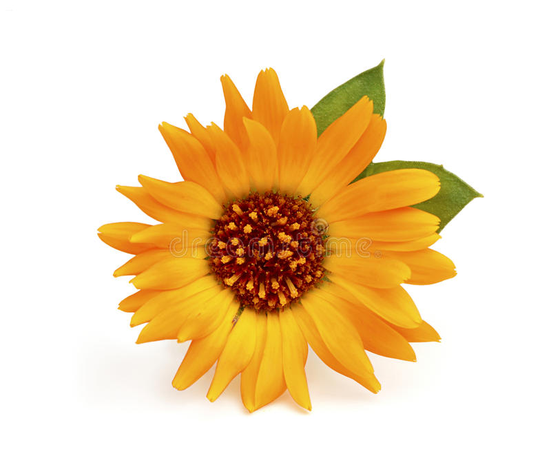 Close-up of calendula flower with leaves. royalty free stock photo
