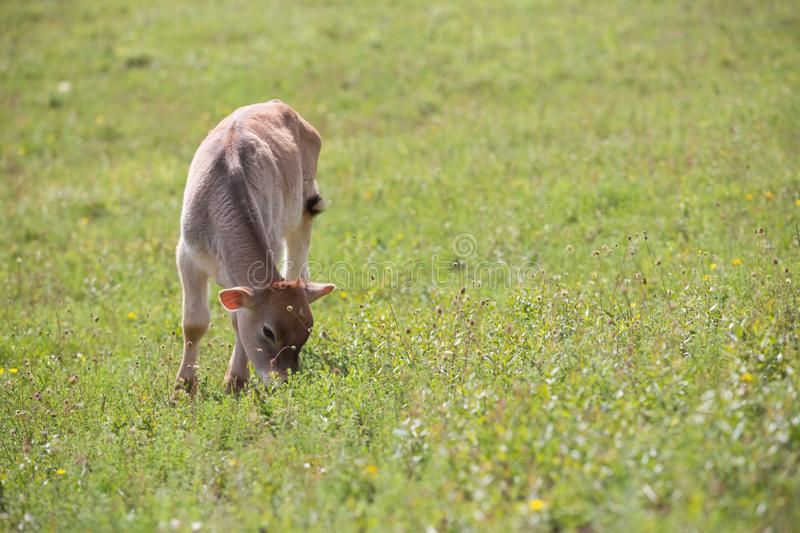 Close-up of calf in green field lit by sun with fresh summer grass on green blurred background. Cattle farming, breeding stock image