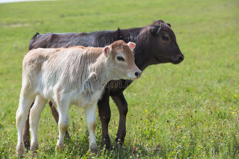 Close-up of calf in green field lit by sun with fresh summer grass on green blurred background. Cattle farming, breeding royalty free stock photography