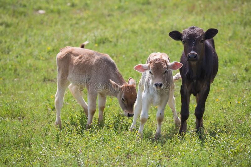 Close-up of calf in green field lit by sun with fresh summer grass on green blurred background. Cattle farming, breeding royalty free stock image
