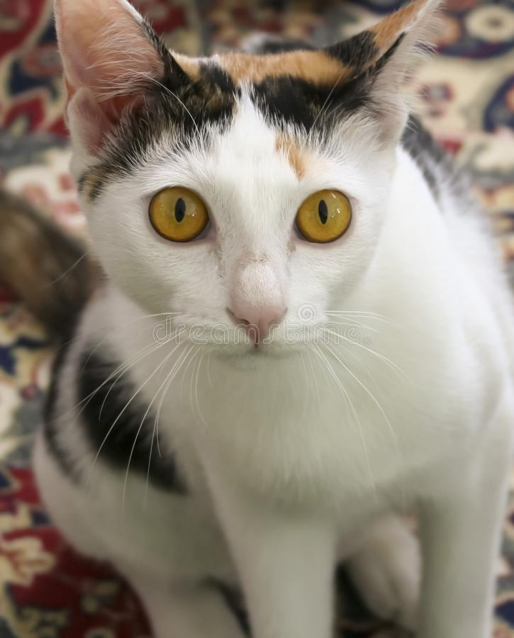 A Close Up of a Calico Cat royalty free stock photo