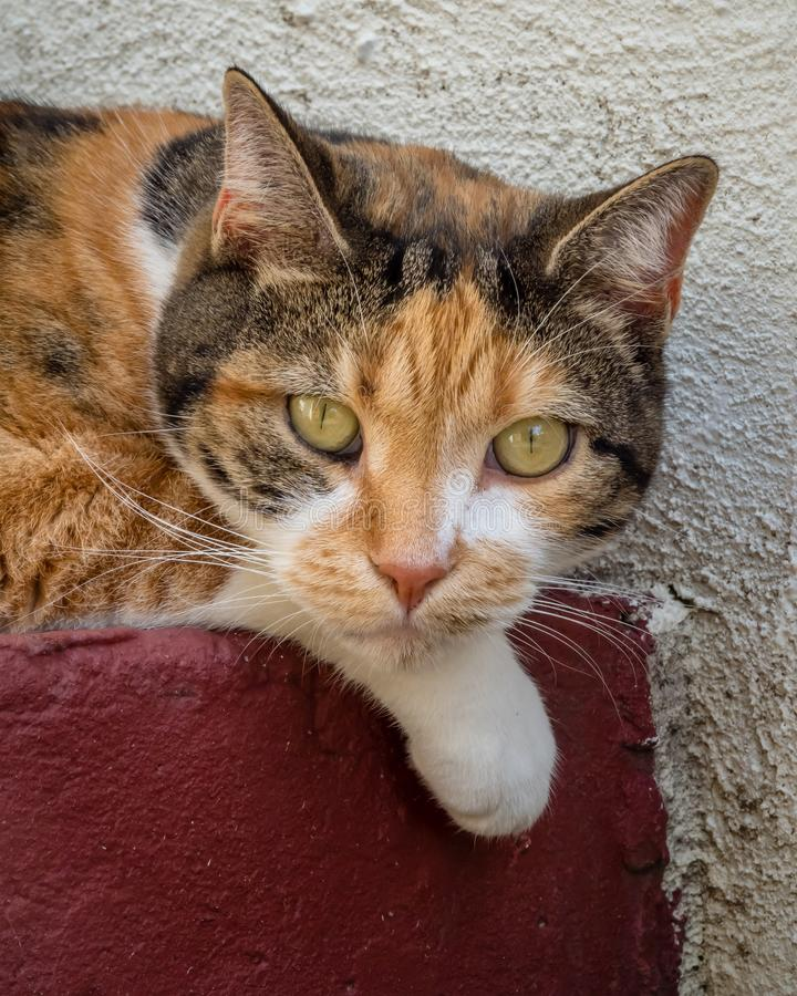 Calico tabby cat resting head on paw on painted step. Close up of calico tabby cat resting head on paw on painted red conrete step royalty free stock image