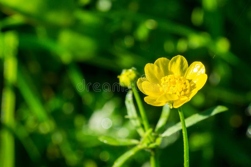 Close up of California Buttercup Ranunculus californicus wildflower on a dark background stock photography
