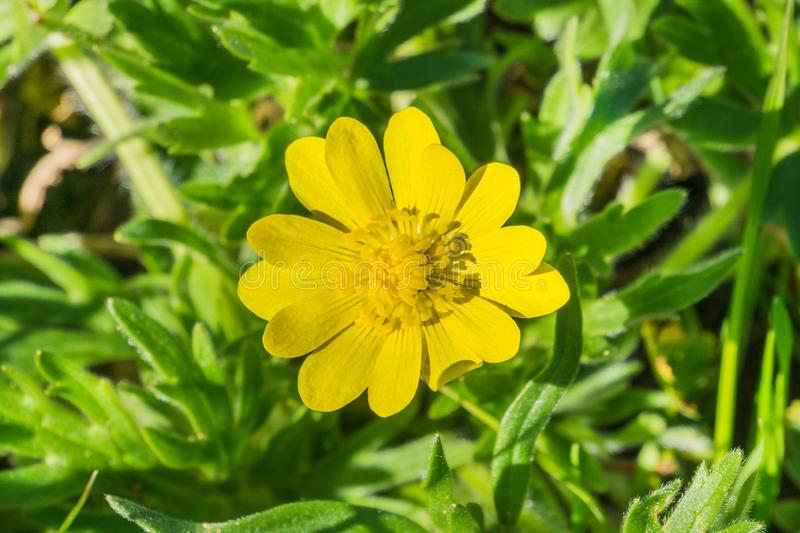 Close up of California Buttercup Ranunculus californicus wildflower on a meadow stock photography