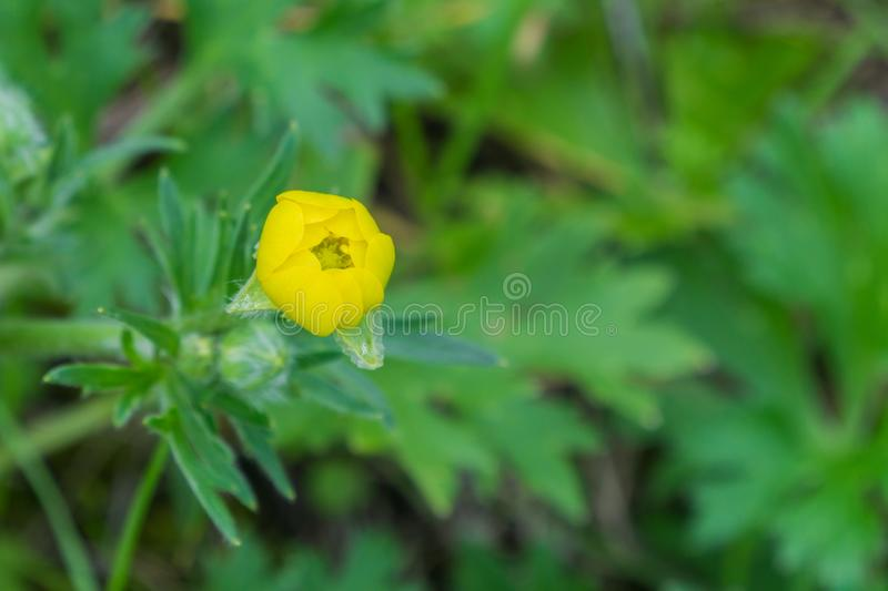 Close up of California Buttercup Ranunculus californicus wildflower about to bloom, California royalty free stock image