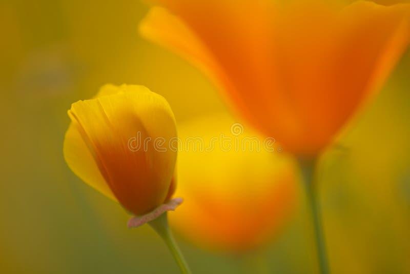 California golden poppy flowers stock photos