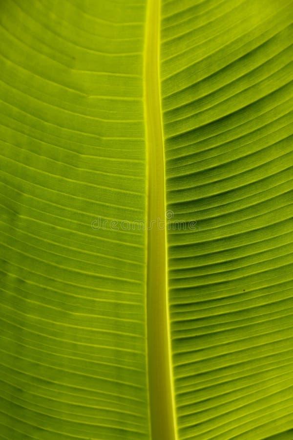 Close up Calla Lily leaf Podiceps cristatus stock images