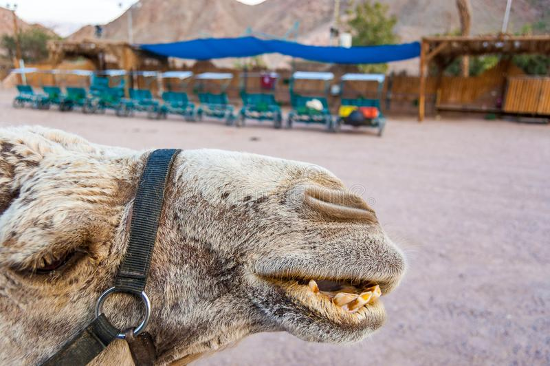 Close-up of a camel showing its teeth during the caravan ride trip in Eilat desert stock image