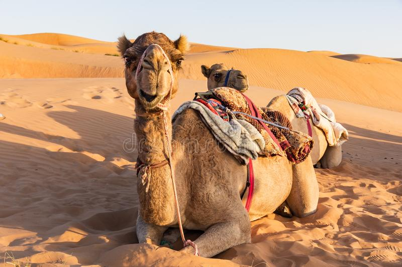 Close-up on Camel in Oman desert royalty free stock image