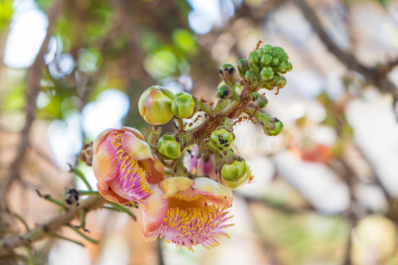 Close up Cannonball tree flowers,Couroupita guianensis,Couroupita guianensis Aubl. Flower royalty free stock images