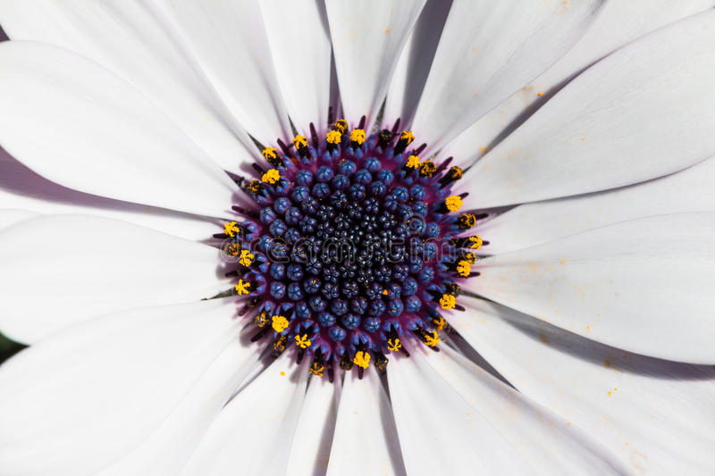 Close up of cape daisy stock photos