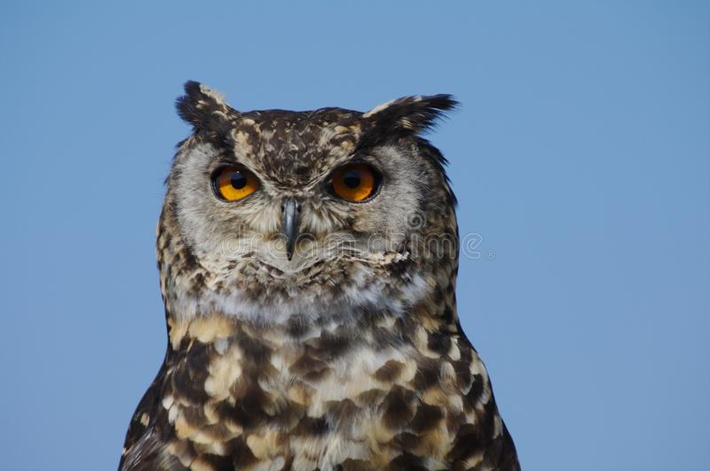 Spotted Cape Eagle Owl silhouetted against blue sky. Close-up of Cape Eagle Owl with yellow piercing eyes posing for the camera stock image