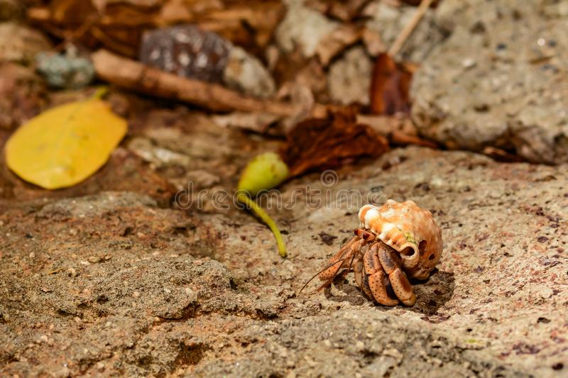 Caribbean Hermit Crab. A close up of a Caribbean Land Hermit Crab on Sugar Beach in St. Lucia royalty free stock photo