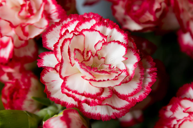 Close up of Carnation flowers stock images
