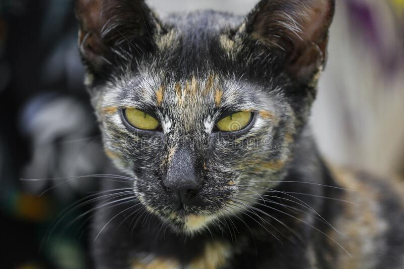 Close up of the cat face with green eyes.  stock image