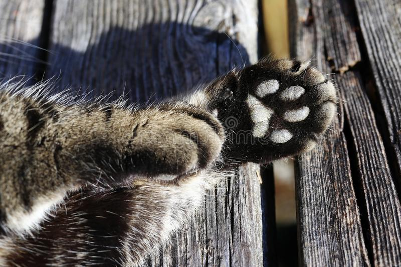 Close-up of cat paws. A cat`s paw from the underside stock image