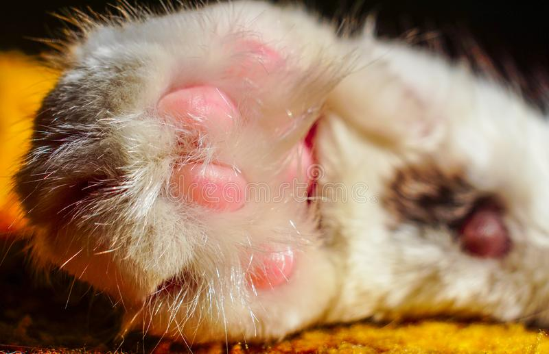 Close up cat`s paw. Cute white cat. Animal body part stock photos