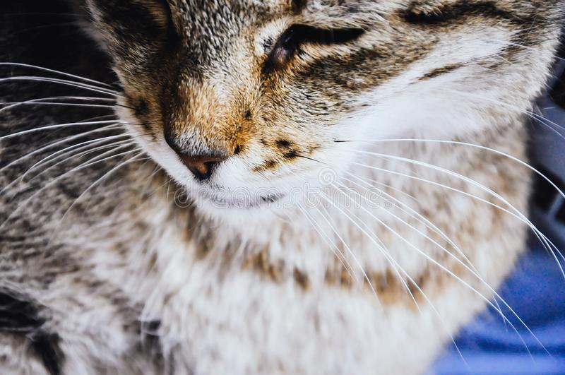 Close up on cat whiskers. An face. Furry cute pet details, adorable adult kitten royalty free stock photography