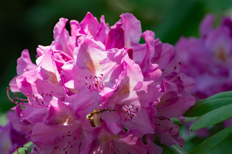 "Close-up catawbiense rododendro do †do rododendro do Catawba do "" imagem de stock royalty free"
