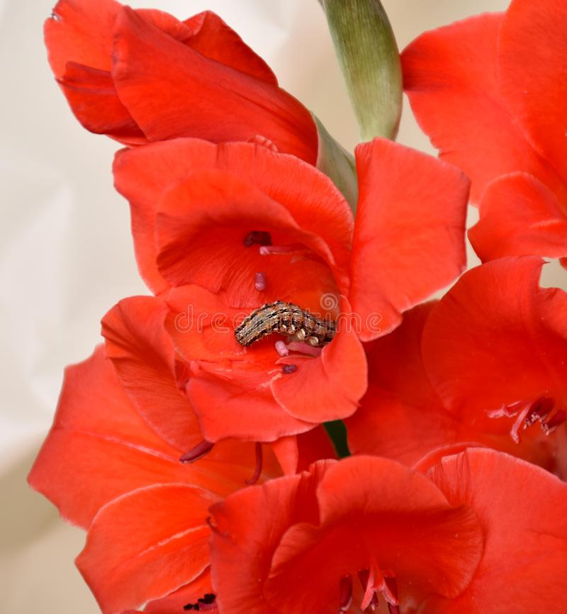 Close-up caterpillar creeping in a red gladiolus royalty free stock image