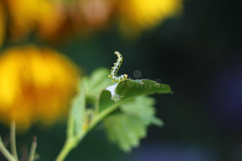 Close-up of a caterpillar on a hazelnut leaf, stock photo