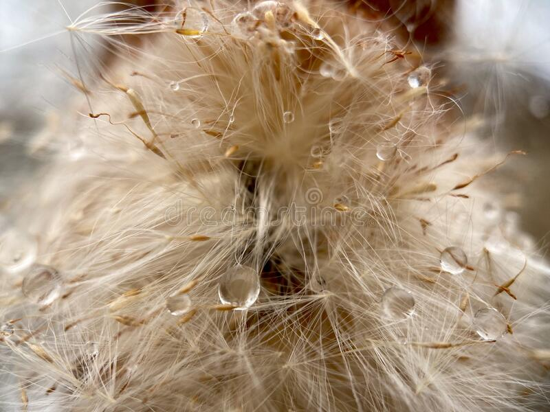 Close up Cattail royalty free stock photography