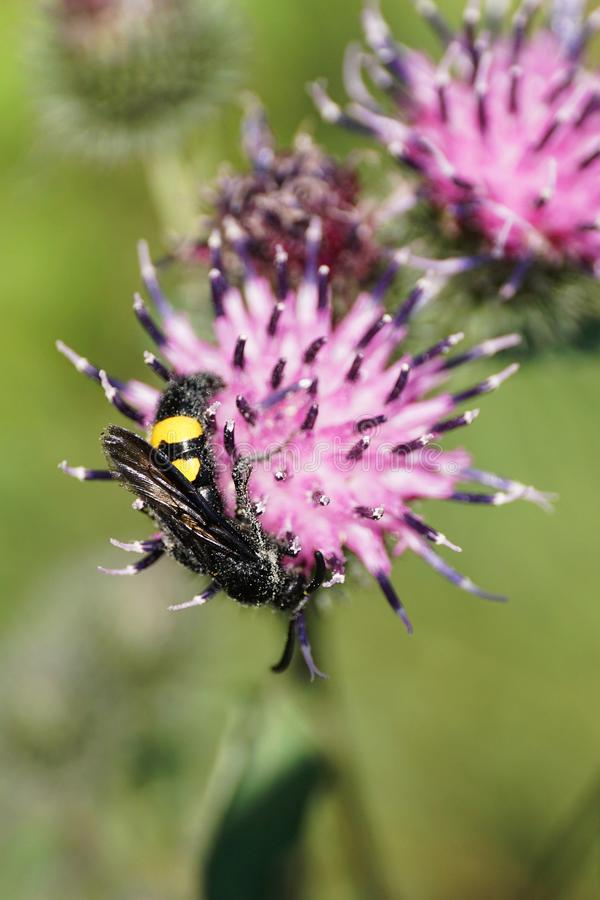 Close-up of Caucasian fluffy and black-yellow wasp Scolia hirta royalty free stock photo