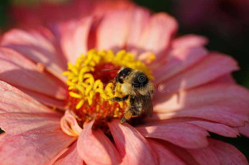 Close-up of Caucasian fluffy striped bumblebee Bombus serrisquama on yellow-pink Zinnia stock photos