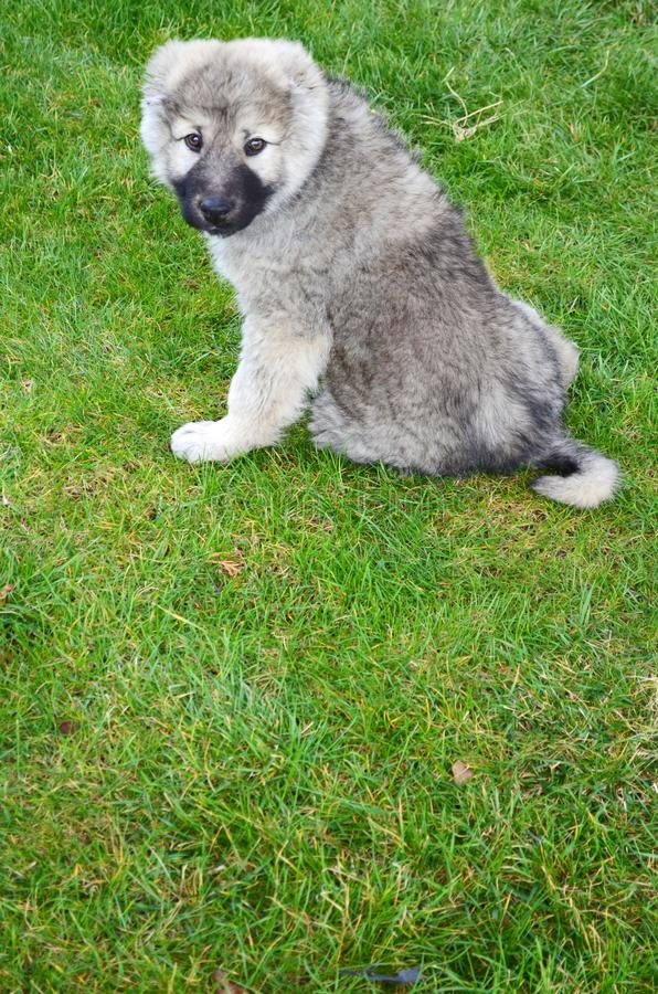 Caucasian Shepherd Baby Dog on a Green Grass. Close up of a Caucasian Shepherd Baby Dog Sitting on a Green Grass royalty free stock image