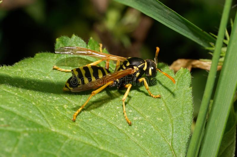 Close-up of Caucasian striped yellow-black wasp resting in the g royalty free stock image