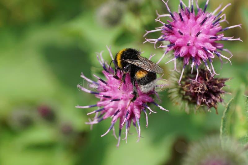 Close-up of the Caucasian yellow-black bumblebee Bombus lucorum stock image