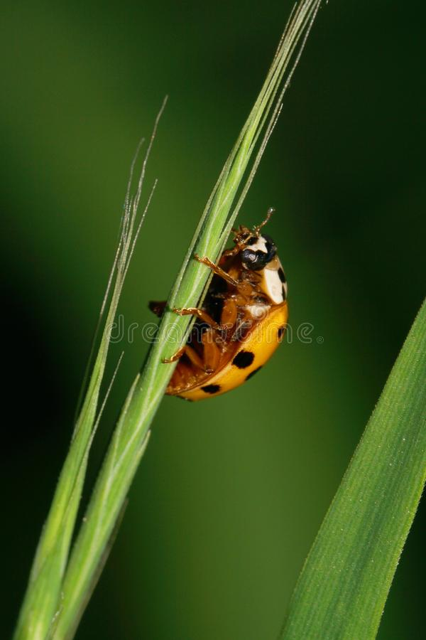 Close-up of Caucasian yellow ladybird hanging on narrow green le royalty free stock images