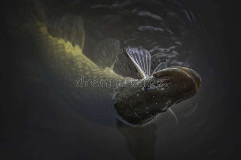 Close-up of caught pike fish trophy in water. Fishing background.  stock photo
