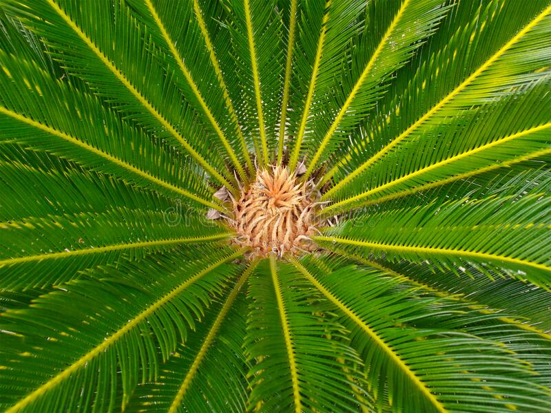 The top view of the cycas tree with lush leaves dominates the green view stock image