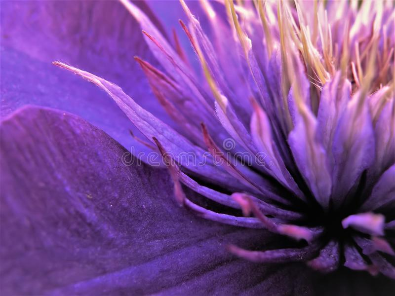 Close Up of Center of Multi Blue Clematis Flower royalty free stock photo