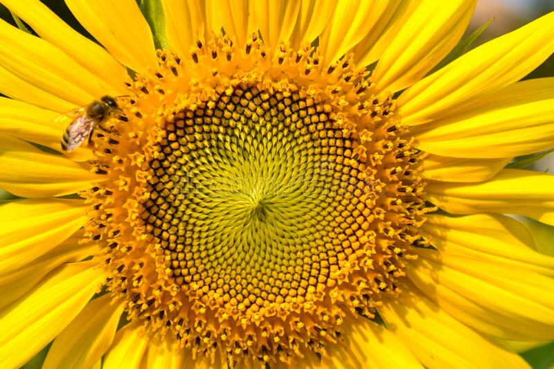 Close-up of center of sunflower blooming with honey bee perching on it stock photo