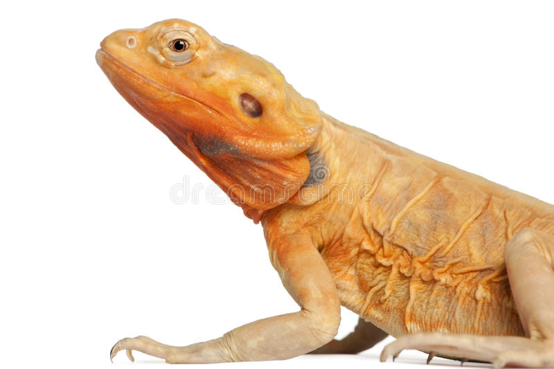 Download Close-up Of Central Bearded Dragon, Pogona Stock Image - Image: 22516535