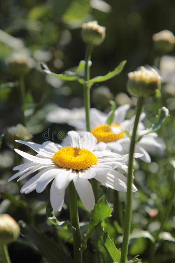 Download Close up of chamomile. stock image. Image of close, frame - 9870261