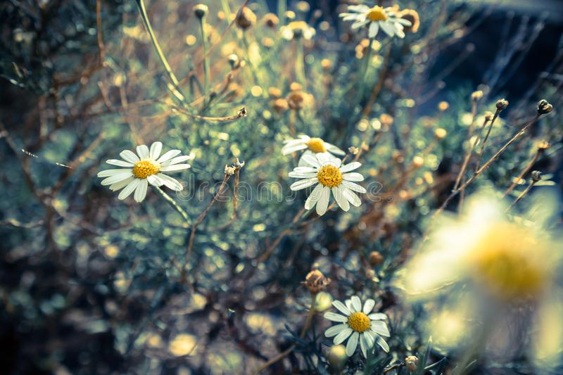 Close-up of chamomile flowers stock photo