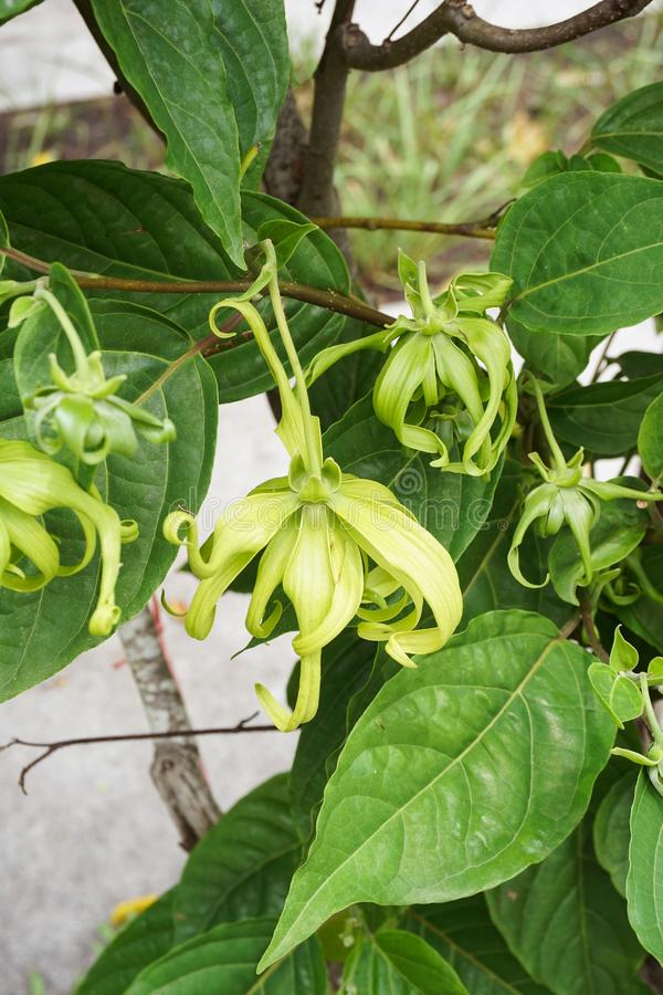 Champaka are blooming on tree. Close up Champaka are blooming on tree stock photography