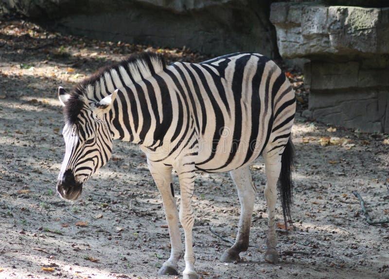 Chapman`s zebra, Equus quagga chapmani stock image