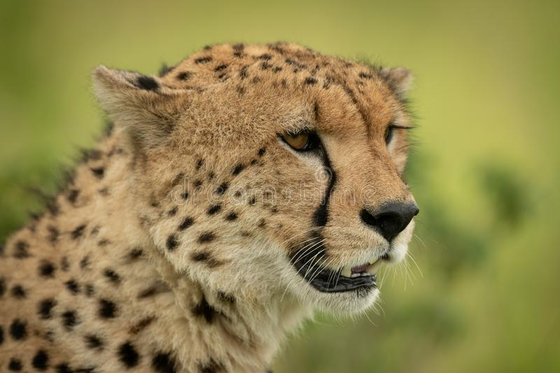 Close-up of cheetah head against grassy background stock images