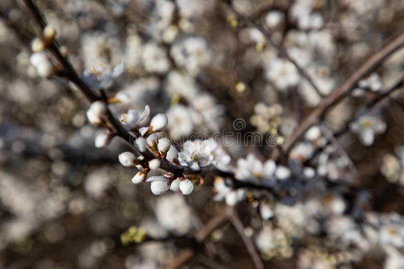 Close up of cherry blossom branches stock image