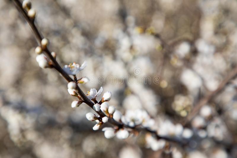 Close up of cherry blossom branches stock photo