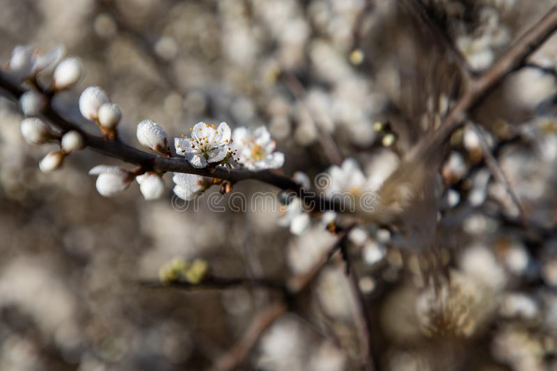 Close up of cherry blossom branches royalty free stock image