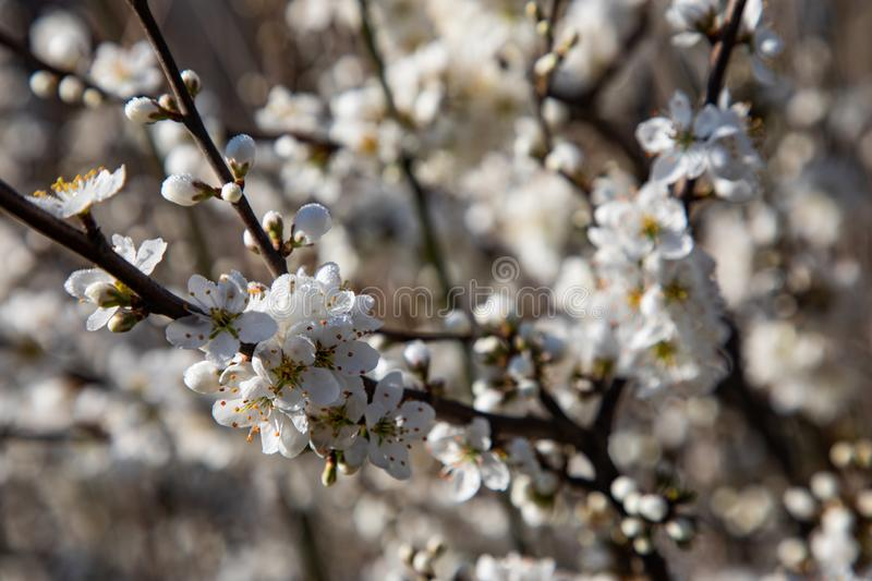 Close up of cherry blossom branches royalty free stock photo
