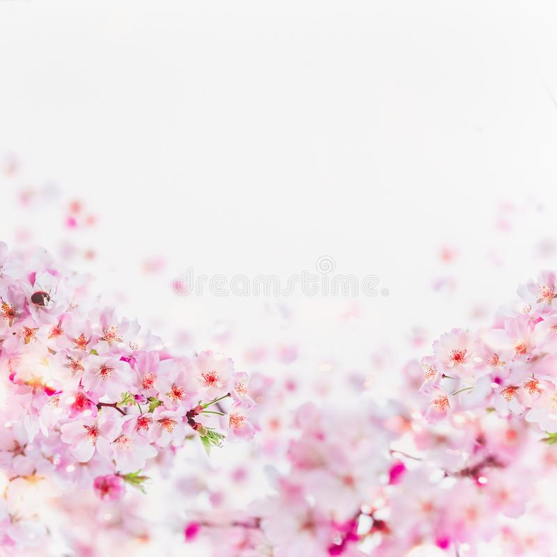 Close up of cherry blossom with little bumblebee in bloom. Pink spring blossom on white. Springtime floral background border stock photos