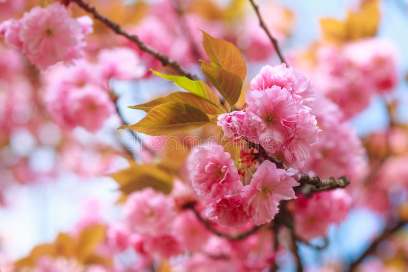 Close-up of Cherry Blossom or Sakura flower in springtime. Beautiful Pink Flowers. royalty free stock photo